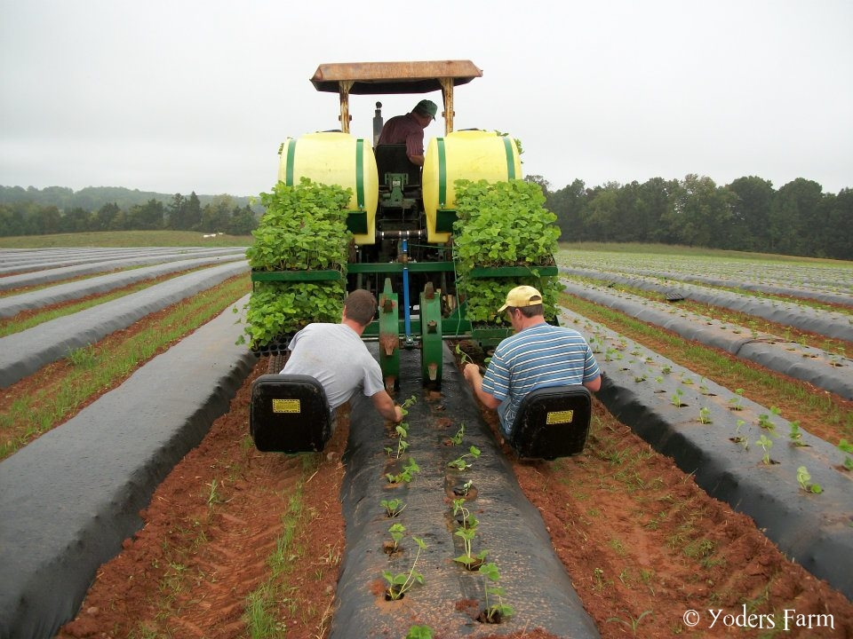 old strawberry planting tractor manual